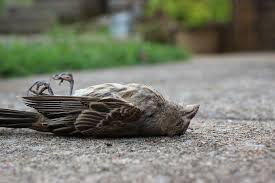 Birds found dead outside Campion
