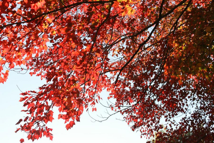 These red leaves on the vibrant tree in front of Sutowski would be a beautiful view out of the dorm windows and on the way to class. (Photo by Carmen Ferante '22).