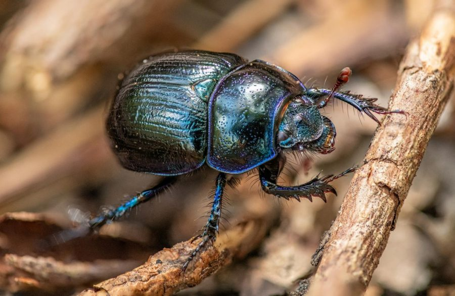 Beetles, Div Millers favorite insects, can be found in the wild, on leaf litter in forests.