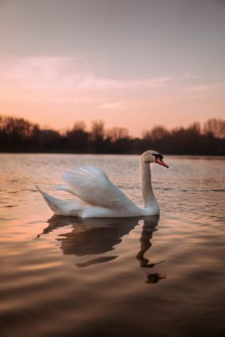A swan swimming at sunset.
