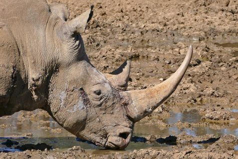 A white rhinocerous in South Africa.