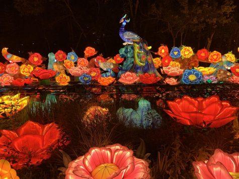 A peacock glows among dozens of lantern flowers. (Photo by Aiden Keenan '22).